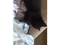 2 2month old kittens and a 5 month old kitten for sale