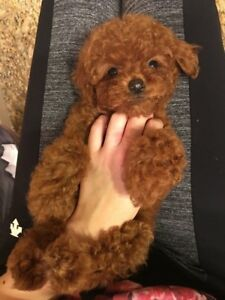 super cute ❤  toy red poodle pups~❤❤