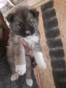 Shepherd mix puppies!