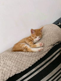 Male ginger kitten