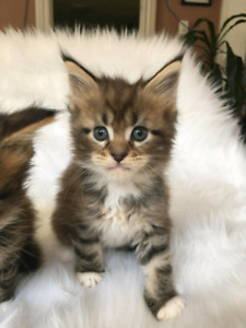Registered Maine Coon kittens & import Adults 800 to 2400