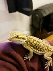 Jeune dragon barbu