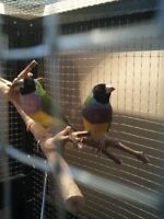 "Lady Gouldian Finch ""On hold"""