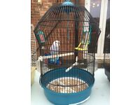 3 baby budgies with cages
