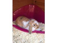 Beautiful Mini Lop Rabbit / Hutch