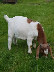Pure Boer Buckling Goats available. 4.5 months old. Winlaw BC