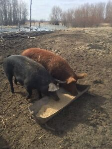 Sows and boar for sale