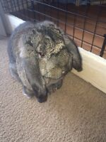 Pure bred French Lop male