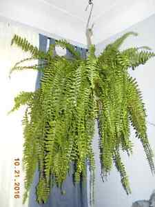 Gorgeous Large Indoor Fern