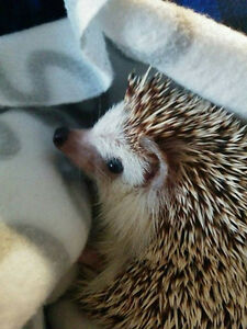 2 yr old hedgehog with cage and all supplies