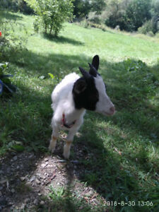 Small sized pet goat, male, 5 months old