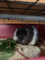 Guine pig cage and 4 adult guine pig and 1 baby