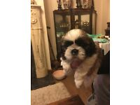 Five beautiful shih tzu puppies for sale (3 girl girls left)