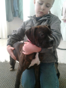 1 boxer puppy hurry, this boy needs a home for Christmas