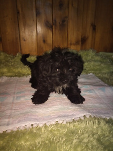 Shihpoo mix Yorkshire