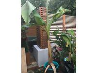 Musa Basjoo - Hardy Japanese Banana Plants for Sale