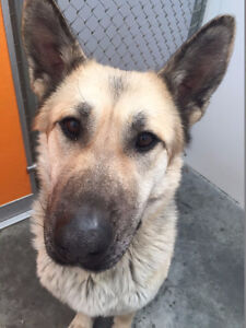 Meet Bonnie 5yr F German Shepherd/Husky X via aVoice4paws