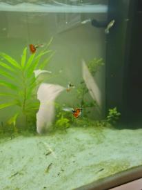 Male guppies