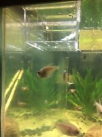 Gold skirt tetra fish