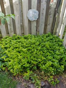 Pakisandra ground cover