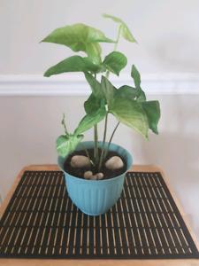 Plante Syngonium