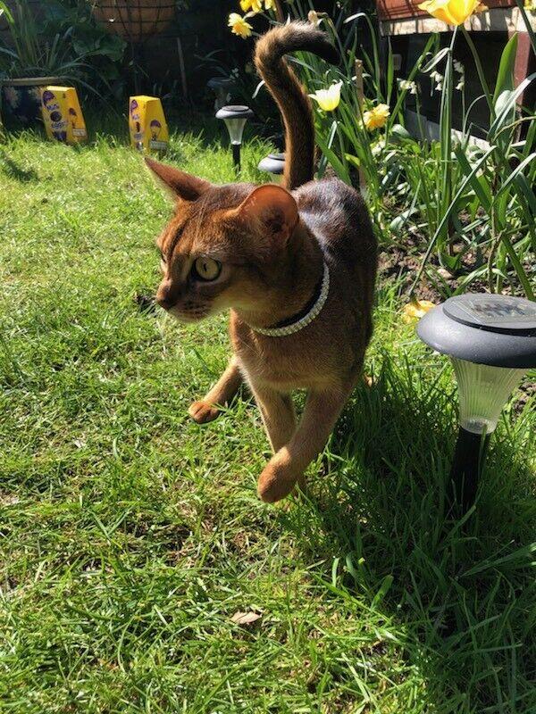 Abyssinian cat | in Acton, London | Gumtree