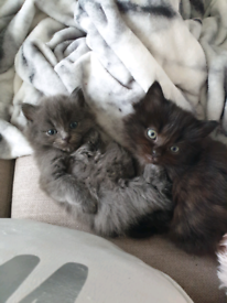Beautiful fluffy kittens