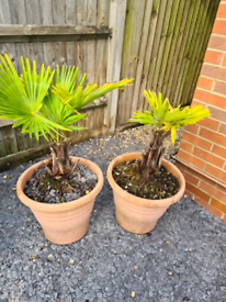 Palm 🌴 Gardens in large pots x2 Can deliver if necessary 50£ each or