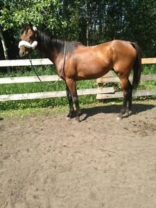11 year old Gilding Thoroughbred with papers