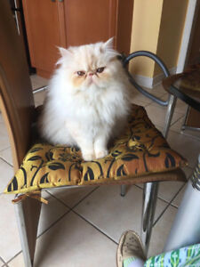 Maple Vaughan Thornhill woods Area  LOST PERSIAN CAT