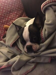 Looking for a Boston Terrier or Frenchton or Bugg