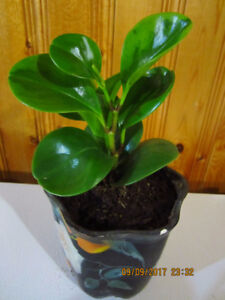 Baby Rubber Plant Variegata - (Clean House indoor Air)