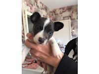 Blue and white jack russell