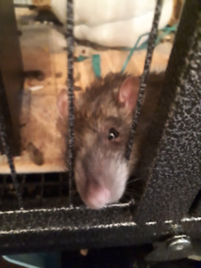 Two boy  rats for sale