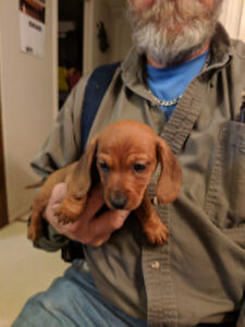 Miniature Dachshund Pups for Sale