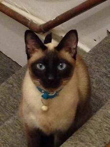 Siamese cat for sale .