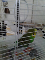 male trained budgie not noisy at all with a beautiful white cage