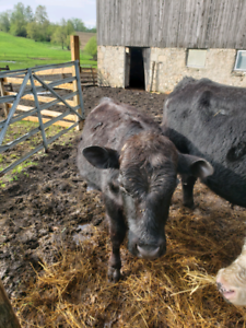 two bulls for sale