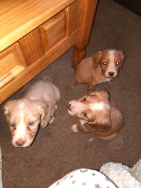 5 beautiful cocker spaniel puppies ready now !!!