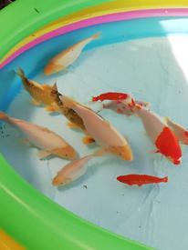 7 Big friendly koi fish