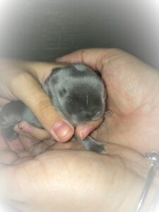 Baby Bunnies - Miniature Holland Lop - 7 weeks old. ** 70$