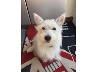 West highland terrier 6 months old