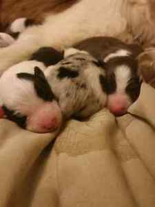Merle & Red and White Registered Border Collie Puppies