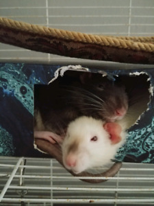 2 Sweet Male Rats and Cage