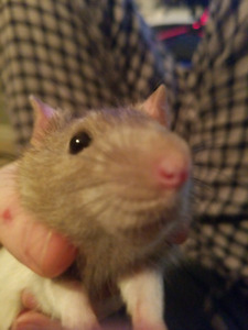 One male rat