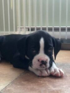 Only 3 Left!!! Boxer Puppies, Reg'd Kennel