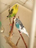 2 Parakeets / budgies 1 male 1 female