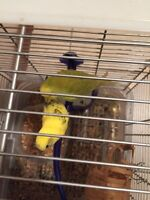 2 beautiful budgie with cage for sale