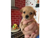 Chihuahua male pup