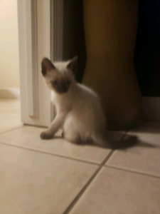 Beautiful Siamese kitten for a forever home